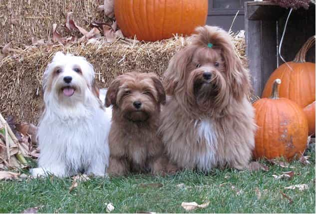 Happy Paws Havanese Vino on the right