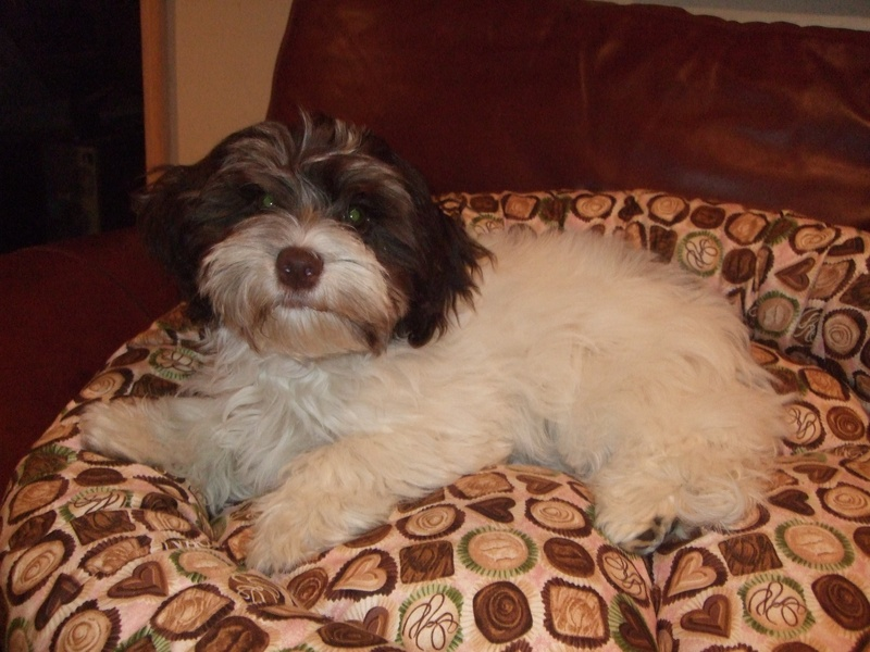 Happy Paws Havanese Puppies Minnesota MN Nauti as a puppy