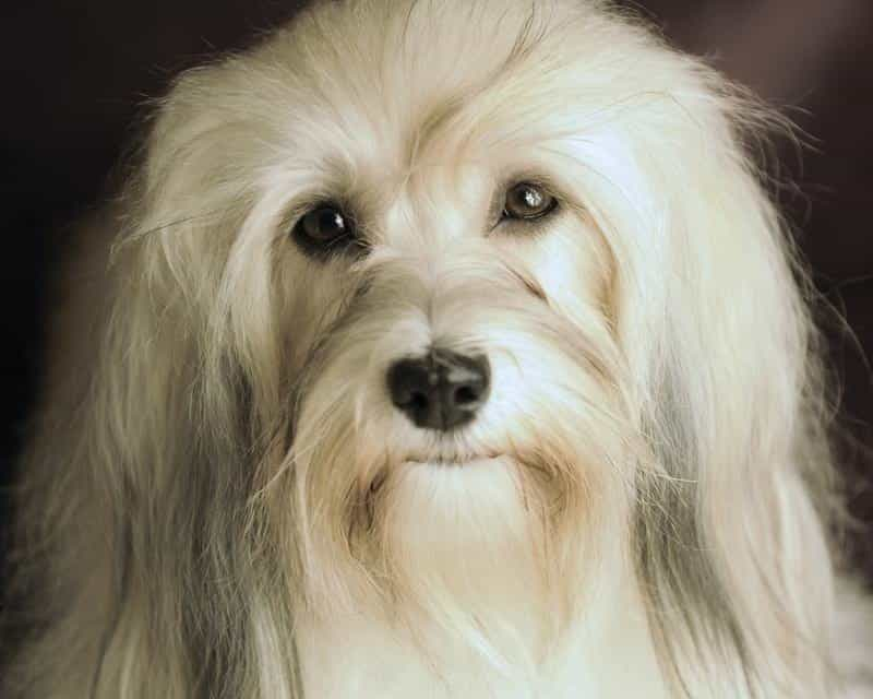Happy Paws Havanese Savannah has a beautiful face