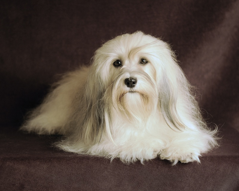 Happy Paws Havanese Savannah as a Champion