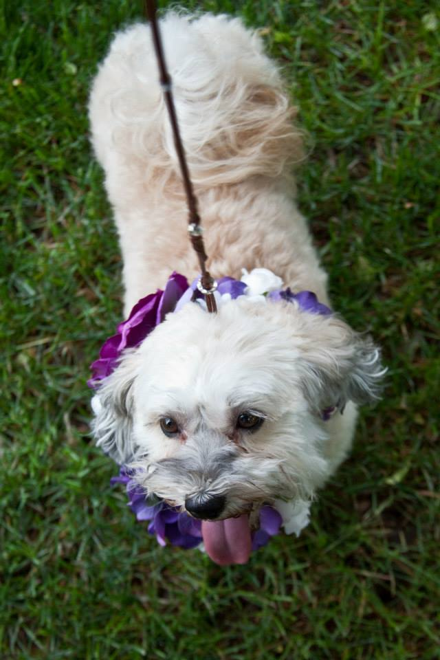 Happy Paws Havanese Savannah wearing her wedding collar